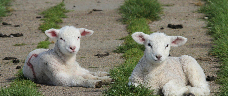 Lammetjes knuffelen op Texel in het voorjaar